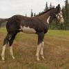 Blue Max Tracker- Colt Sire: Innocent Bars (Ace)
