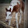 Leos Apache Rose Aria- filly out of Calico San Clusters- Belle