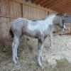 Violet buckskin filly with grey and brown modeling  out of Sunny