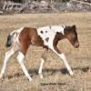 Ayden is a nice colt with good bone, and good strait legs, he is very well coordinated, powerful  stops and turns on those hind quarters